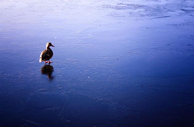Duck in Stanley Park