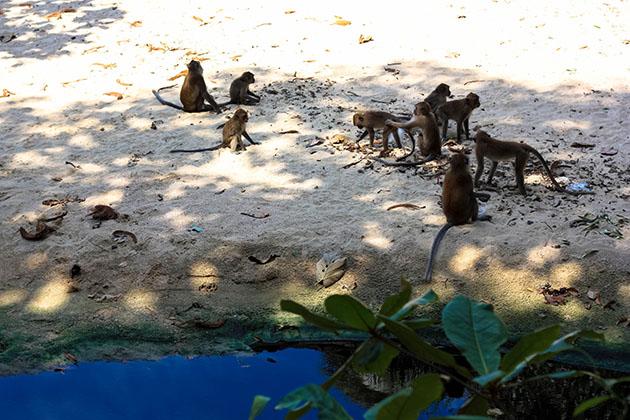 monkey gang