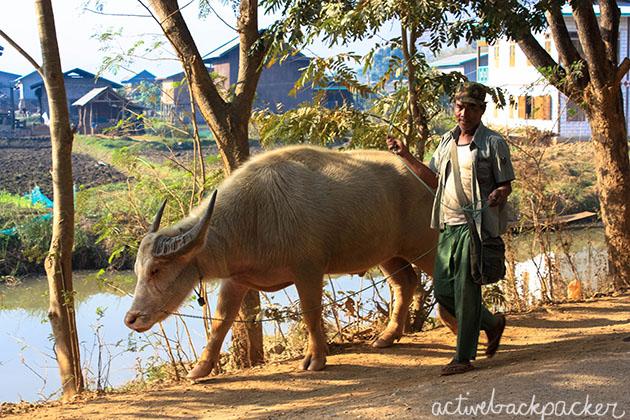 Myanmar Man Walks Bull